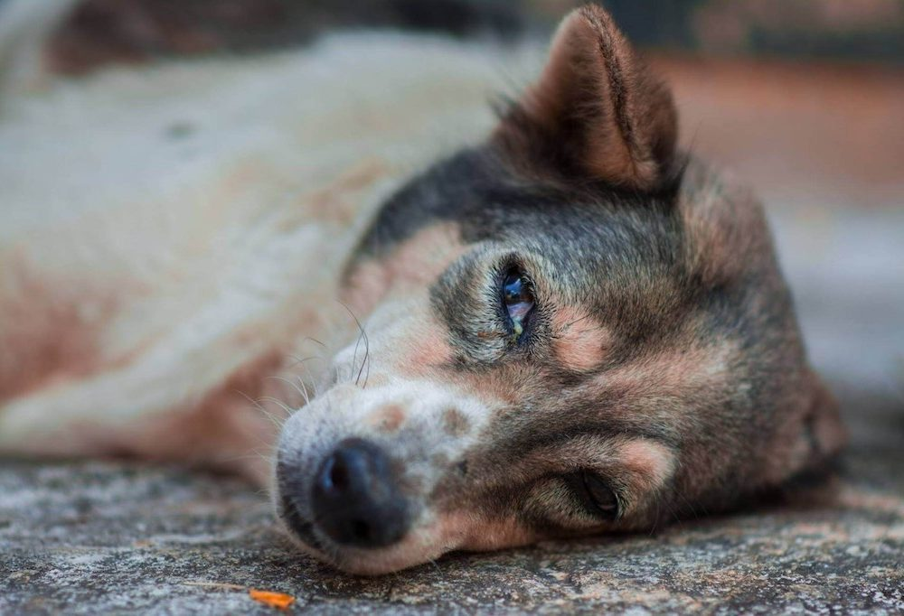 Chó Bị Viêm Đường Ruột: 11+ Cách Chữa Trị Nhanh Chóng